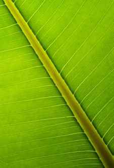 Bright Green Leaf Structure Royalty Free Stock Images