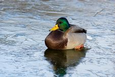 Mallard Duck (Anas Platyrhynchus) Stock Photos