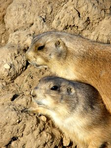 Free Prairie Dogs Royalty Free Stock Photo - 8739945