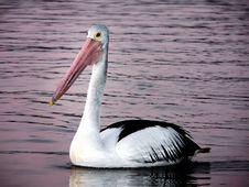 Free Pelican.&x28;Pelecanus Conspicillatus&x29; Stock Images - 87311764
