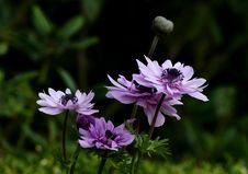 Free Anemone. Stock Photo - 87312300