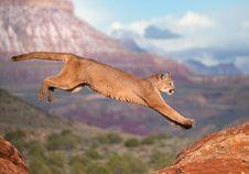 Free Cougar Stock Image - 87313011