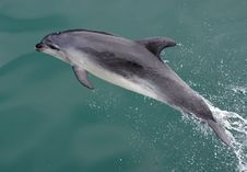 Free Dolphin At Play 15 Royalty Free Stock Images - 87314109