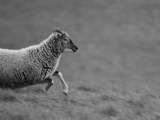 Free Grey Scale Photo Of A Sheep Running In The Field During Daytime Stock Photo - 87314760