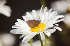 Free Brown Butterfly On White Flower Royalty Free Stock Images - 87315409