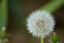 Free Close-up Of Dandelion Royalty Free Stock Images - 87316299