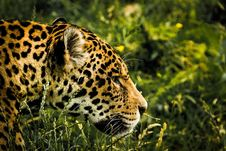 Free Leopard In Grass Royalty Free Stock Images - 87318449