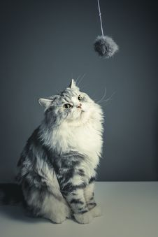 Free Cat Looking At String Toy Royalty Free Stock Photo - 87320085