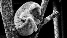 Free Koala Sleeping In Tree Stock Photos - 87322303