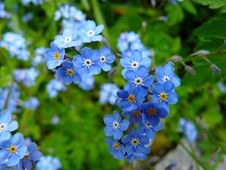 Free Blue 5 Petaled Flowers Royalty Free Stock Image - 87323086