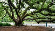 Free Gnarled Tree Stock Photography - 87379512