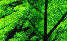 Free Gunnera Tinctoria. Leaf. Royalty Free Stock Image - 87379606