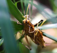 Free Couple Of Grasshoppers Mating Royalty Free Stock Image - 87380376