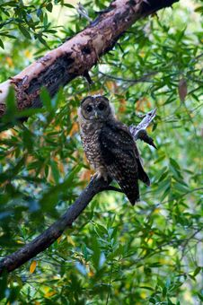 Free Saturated Owl Stock Photography - 87380552