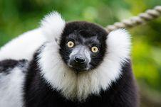 Free Black And White Ruffed Lemur Royalty Free Stock Photo - 87380915