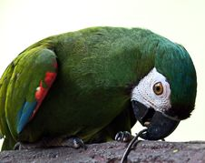 Free Severe Macaw Stock Images - 87381204