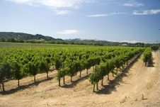 Free A Vineyard In Dry Creek Valley, California Royalty Free Stock Image - 8740066