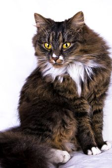 Free Cat Royalty Free Stock Photography - 8740087