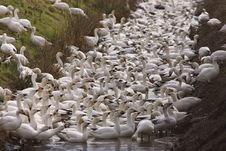 Free Snow Geese Royalty Free Stock Photography - 8740697