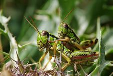 Free Grasshopper Royalty Free Stock Photography - 8742257