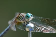 Free Dragonfly On Car Antennae Royalty Free Stock Photos - 8743688