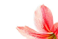 Free Red Lily Stock Photography - 8743932