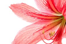 Free Red Lily Royalty Free Stock Photo - 8743945