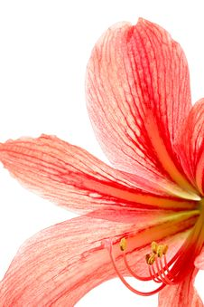 Free Red Lily Stock Photos - 8743963