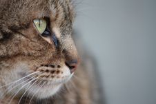 Free Focused Cat Royalty Free Stock Photos - 8744028