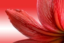 Free Red Lily Royalty Free Stock Photography - 8744077