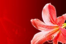 Free Red Lily Stock Photo - 8744130