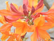 A Cluster Of Orange And Red Flowers Royalty Free Stock Images