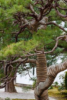 Free Japanese Pine Tree Stock Images - 8744454