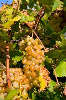 Free Grape Royalty Free Stock Photography - 8747027