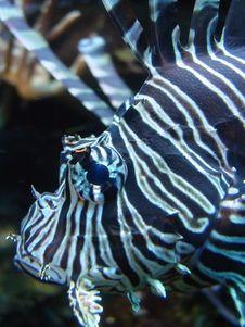 Lionfish Or Scorpion Fish Macro Royalty Free Stock Images