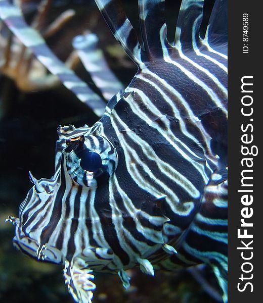 Lionfish or scorpion fish macro