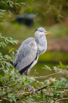 Free Grey Heron Royalty Free Stock Photography - 87432887