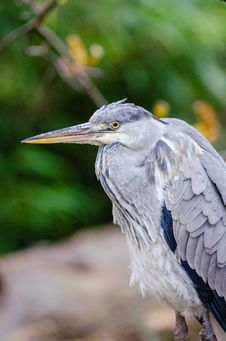 Free Grey Heron Stock Photo - 87432890
