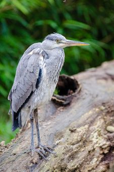 Free Grey Heron Stock Photos - 87432983
