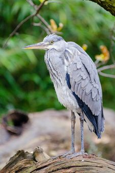Free Grey Heron Stock Photos - 87433593