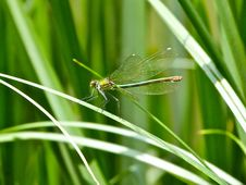 Free Common Green Darner Stock Images - 87433654