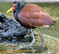 Free Jacana 2 Stock Photos - 8754563