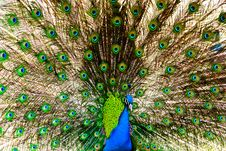 Peacock Spreads  Tail Stock Photos