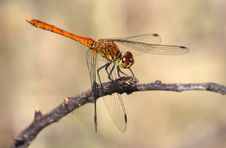 Free Ruddy Darter Dragonfly - Sympetrum Sanguineum Stock Photo - 8754060