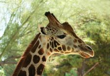Free A Giraffe In Profile Stock Photo - 8754460