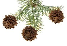 Free China Fir Tree Cones Stock Image - 8754511
