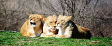 Free Three Lions Stock Photo - 8755750
