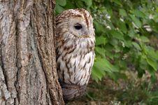 Free Owl Stock Photos - 8757523