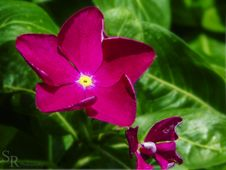Free Flor Fiusha- Stock Photos - 87502673