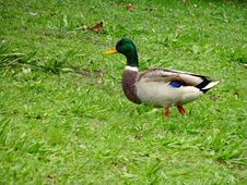 Free Walking Duck Stock Photography - 87502772